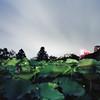 breeze please (F_blue) Tags: tokyo kodak hasselblad portra400vc 500cm uenozoo 不忍池 上野動物園 lotuspond planart 4minutes c8028 fblue2008