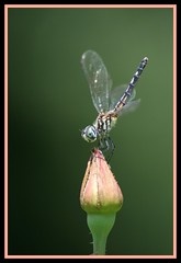 Dragonfly Macro ( dragonflyriri  (Limited Flickr Time)) Tags: macro rose happy dragonfly sweet yay excited rosebud loveit bud darner hellyeah bokah dragonflyriri