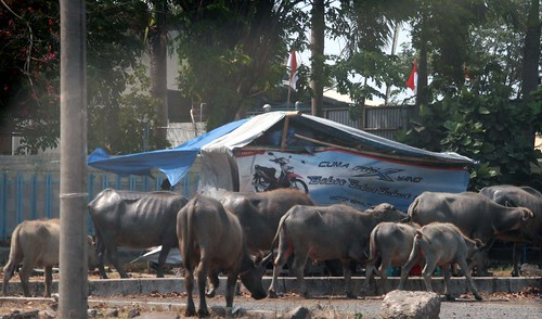 Auch Kühe waren an diesem Tag unterwegs....