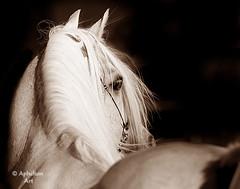 07JG0809BW2 (Aphelion Art) Tags: horse egyptian arabian equestrian colt equine filly foal egyptianarabian