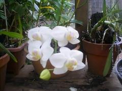 orquidea phalenopolis branca foto nilgazzola ( agosto) echapora sp (nilgazzola) Tags: flores de big foto mini ou com orquideas tirada pessoais maquina nilgazzola