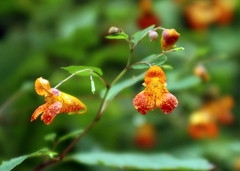 Wildflower (Spotted Jewel Weed) under the Viaduct (David Hopkins Photography) Tags: nc viaduct wildflower blueridgeparkway wnc spottedjewelweed linncoveviaduct averycounty theperfectphotographer