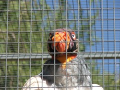 Colorful-Faced King Vulture