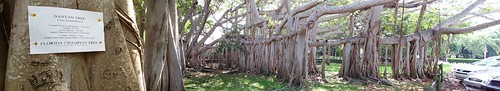 Largest Banyan Tree In The US / Thomas Edisons Estate / Fort Myers / Florida