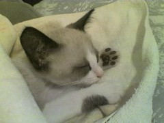 Dream Kitty Dream (Amores Felinos) Tags: pet cat kitten chat gato felinos felino catlovers catlover kittenmagazine bestofcats kittyschoice besofcats catmoments