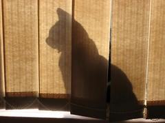 Gee... (Lulu-belle Ramsbottom...cant wait for christmas!) Tags: shadow cat feline kitty blinds jonah silhoette jonahthecat