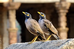 Coupled (Anurag Prashar) Tags: india birds couple delhi pair sync qutub newdelhi anurag unison d300 prashar ilovemypics