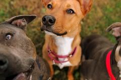 (This Year's Love) Tags: portrait dog israel mutt backyard nikond70 pitbull simona shifra