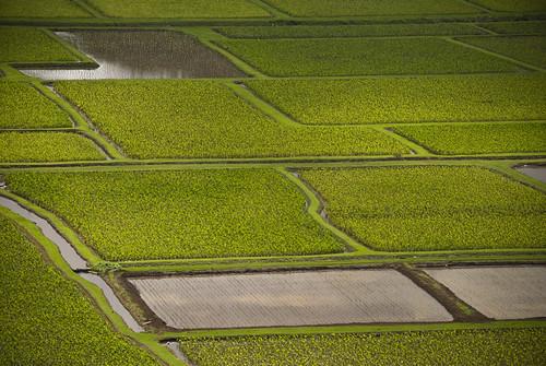 Taro Fields of Hanalei Valley