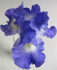 Late Bloomer (dart5150) Tags: iris flower beautiful cupcakes colbaltblue blueribbonwinner periwinkleblue bloominginnovember macroflowerlovers excellentsflowers 4mazingorgeoushotsoflowers expandingmyhorizons awesomeblossoms feetandbodypartscomingsoon juneandwardalsocomingsoon