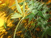 Mari 'laverde' incooooooooooomiN' (mAicLo) Tags: verde green planta hojas weed thc marijuana marihuana pelitos floración