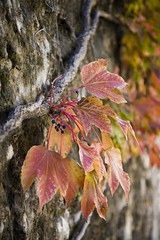 leaves in Trento (rockmixer) Tags: travel italy castle leaves wall garden moss dof bokeh vine grapes trento buonconsiglio castellodelbuonconsiglio