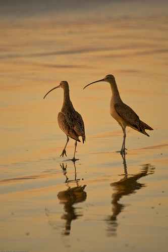 Long-billed Curlew (Numenius americanus) birds on Morro Strand State Beach during a golden sunset.  Also characteristic o...