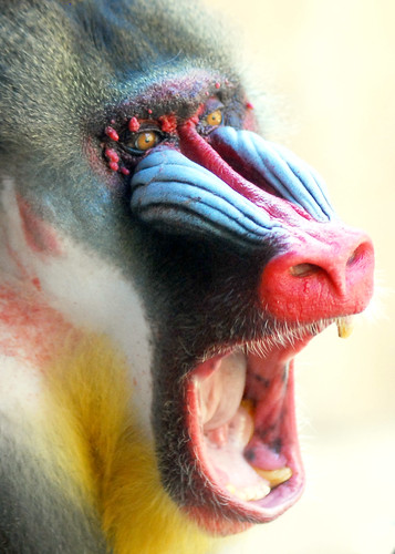 mandrill / IN CHERL KIM