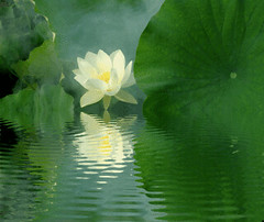 Lotus Flower Reflections / green / IMGP6812-refl -  , , ,  , Fleur de Lotus, Lotosblume, ,  (Bahman Farzad) Tags: flower macro reflection green yoga reflections peace lotus relaxing peaceful animated gif meditation therapy animatedgif  lotusflower lotusflowers lotuspetal  lotuspetals  lotosblume fleurdelotus    lotusflowerpetals lotusflowerpetal