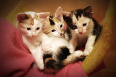 Three precious girls (fofurasfelinas) Tags: cats topf25 kittens calico fofurasfelinas gatas catphotography felinephotography gianeportal furryfelines fotografiadegatos fotografiafelina