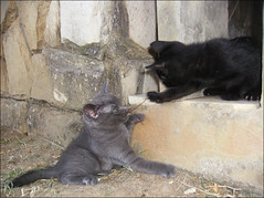 Two brothers playing together (MaCaEs) Tags: blue cats baby black cute azul cat gatos babe preto gato lucky gata pepe russian fofo sorte russo russianblue nona pep gatopreto caulinha russoazul