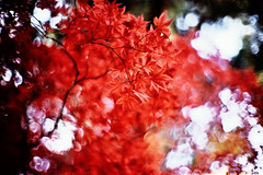 scarlet (moaan) Tags: life leica november autumn light red sunlight crimson leaves sunshine japanese 50mm maple dof shine bokeh momiji japanesemaple glowing mp blaze goodbye waving 2008 hue tinted mapleleaves rvp f095 blazing fujivelvia tinged rvp100 leicamp canonf095 fujirvp inlife canon50mmf095 glowingcolor bokehwhores blazeofcolors gettyimagesjapanq1 gettyimagesjapanq2
