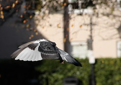 Stop the Pigeon (torimages) Tags: pigeon flight sd klunk muttley dickdastardly zilly