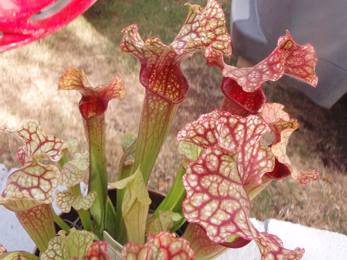 Pitcher Plants at Lowes   why??: green_monsters — LiveJournal