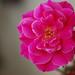 petals by dengski