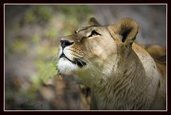 Len (Enrique Ramos Lpez) Tags: africa wild animal female cat big dangerous eyes king photographer african wildlife lion safari hunter predator len carnivore fotografo hembra specanimal erllre flickrbigcats enriqueramoslopez