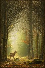 Let there be light (hvhe1) Tags: light holland nature animal forest bravo peace wildlife deer roedeer interestingness11 naturesfinest blueribbonwinner supershot tonden hvhe1 hennievanheerden anawesomeshot vosplusbellesphotos
