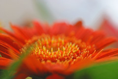 towards the light .... (IngeHG) Tags: orange yellow thenetherlands gerbera manual shallowdof cutflowers nikond60