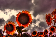 Terrifying Sunflowers (esinuhe69) Tags: flowers sky orange field clouds nuvole cloudy country overcast campagna cielo sunflowers tuscany sunflower di campo fiori toscana 1001nights girasole breathtaking arancione terrifying girasoli terrificanti mywinners abigfave esinuhe69 breathtakinggoldaward oltusfotos