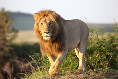 Lion (Lyndon Firman) Tags: africa kenya lion masaimara pantheraleo
