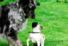 Playtime (wickenden) Tags: green jessie play pugs hansolo