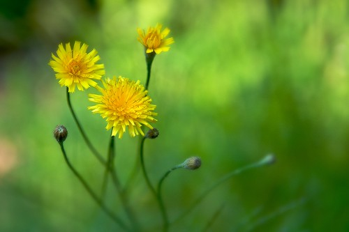Dandelions and Bokeh