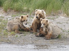 cubs waiting for mom to fish_Q2E9496 (bud_marschner) Tags: alaska cub brownbear katmai outstandingshots specanimal specanimalphotooftheday impressedbeauty vosplusbellesphotos