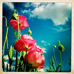 somewhere around nothing (Janine Graf) Tags: cameraphone pink summer apple nature clouds petals bluesky poppy poppies iphone4 iphonepix iphonephotography johnslens hipstamatic inas1969film janine1968