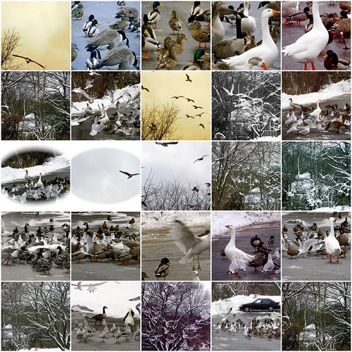 Geese, Seagulls, Pigeons, Ducks, and Birds