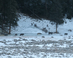 Slough Creek Wolf Pack - Yellowstone (Dave Stiles) Tags: winter wolf wildlife yellowstonenationalpark yellowstone wolves stiles canislupus yellowstonewildlife sloughcreekwolfpack