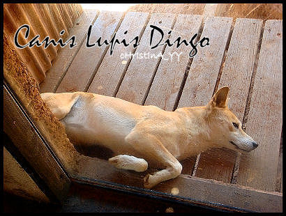 Canis Lupis Dingo