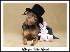 Ginger The Great (missgingersnap) Tags: portrait dog pet cute rabbit ginger costume magic canine tophat cape minpin magician magicwand nikond80 impressedbeauty