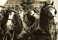 St. Patrick's Day Parade, Boston (- johngiovanni) Tags: horse irish boston parade budweiser stpatricksday clydesdale stpaddysday southie anheiserbusch abigfave johngiovanni