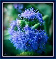 Blue Flowers (bonksie61) Tags: flowers blue soe smörgåsbord fpc artisticexpression mywinners avision platinumphoto impressedbeauty superbmasterpiece almostanything diamondclassphotographer flickrdiamond ysplix overtheexcellence theperfectphotographer goldstaraward ourmasterpieces ♪♪♪kartpostalpostcard♪♪♪