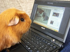 Gethin loves Flickr, 13 Apr 08 (Castaway in Scotland) Tags: pet cute guinea pig cavies cavy laptop computers asus eee