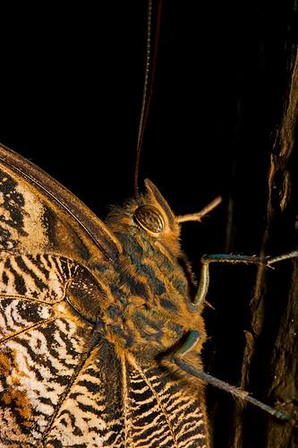 Huge Moth / Mariposa Enorme (by Chaval Brasil)