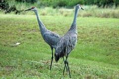 EPV0057 (keitokelsea) Tags: birds waterbirds sandhillcranes