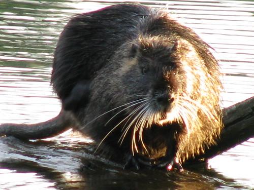 Lacamas Lake Critter