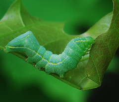 Copper Underwing Moth - caterpillar (NatureNM) Tags: caterpillar arkansas newtoncounty amphipyrapyramidea copperunderwingmoth