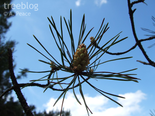 male pine inflorescence with whorl of needles