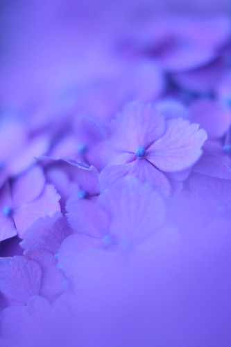 hydrangea: luminous blue