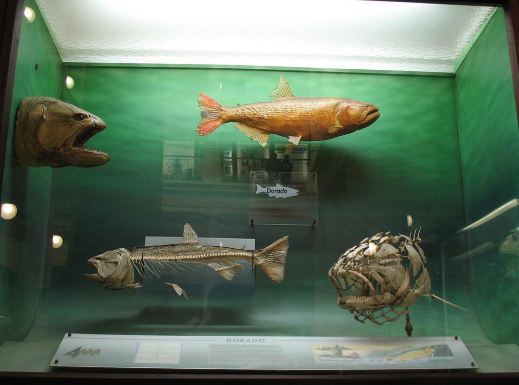 Fauna Argentina. Peces de Río.
