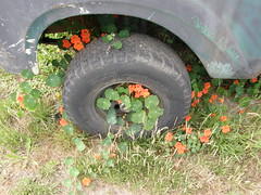 July-14-2008-01 (morgret) Tags: truck tire halfmoonbay nasturtium