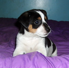 CAndy Cane Ranch Samson 5wks (raeraemae) Tags: dogs sunrise puppies therapydogs therapeuticranch candycanechristiantherapeuticranch ohiosunrise